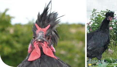 La poule Le Merlerault